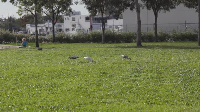 stork eat off ground - kleine gruppe von tieren stock-videos und b-roll-filmmaterial