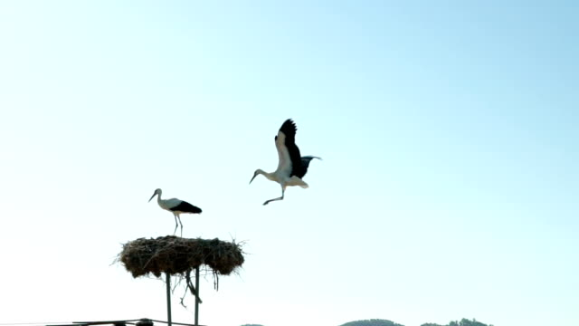 stork flying to the nest - nido di animale video stock e b–roll