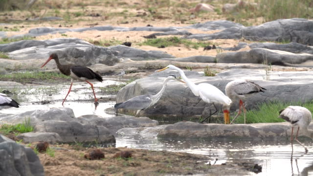 stork, heron and egrets wade in shallow water searching for fish, kruger national park, south africa - provinz mpumalanga stock-videos und b-roll-filmmaterial