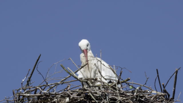 storch in nest - formationsfliegen stock-videos und b-roll-filmmaterial