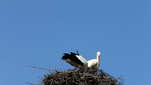 Stork mating ritual - HD Video
