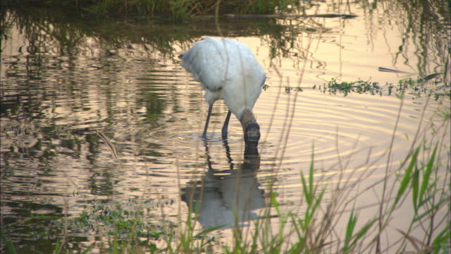 a stork searches for food in anhinga pond. - everglades national park stock videos & royalty-free footage