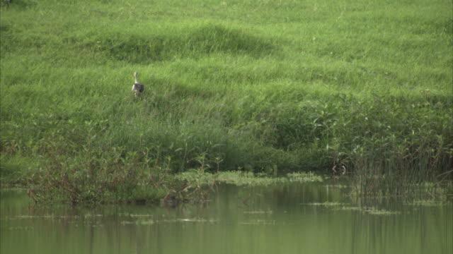 a stork struts through long marsh grasses. available in hd - futter suchen stock-videos und b-roll-filmmaterial