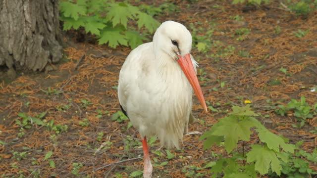 Storchenvogel