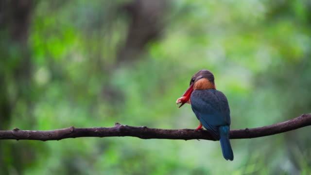 vídeos y material grabado en eventos de stock de stork-billed kingfisher - otros temas