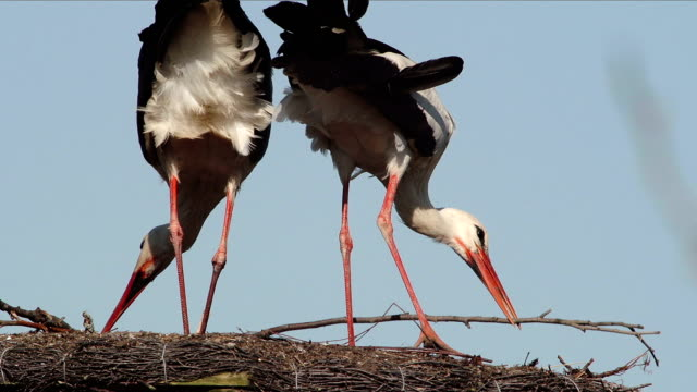 storks - animal nest stock videos and b-roll footage
