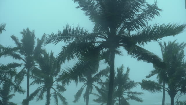 storm blowing coconut palm trees - tropical tree stock videos & royalty-free footage