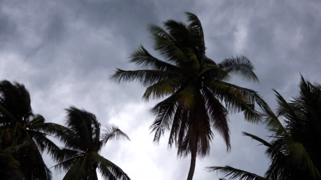 4K: Storm blowing coconut palm trees.