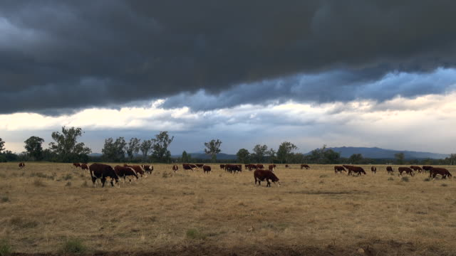 storm clouds and herd of beef cattle grazing with calves - grass fed stock videos & royalty-free footage