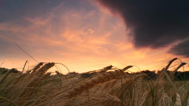 hd-zeitraffer: wolken über gerste feld bei sonnenuntergang - weizen stock-videos und b-roll-filmmaterial