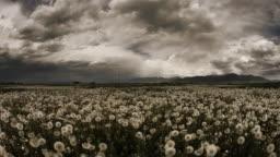 Storm over field of dandelions