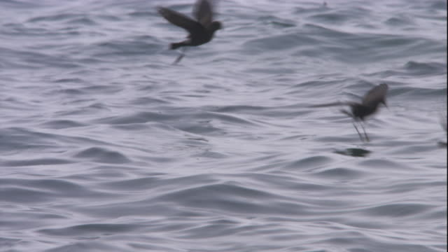 storm petrels and giant petrels forage on the ocean's surface. available in hd. - antarctic ocean stock videos and b-roll footage