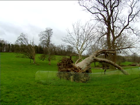 storms in penzance / damaged house in cambridge / snow in perthshire england cornwall penzance ext uprooted tree wth cordon round it - perthshire stock videos & royalty-free footage