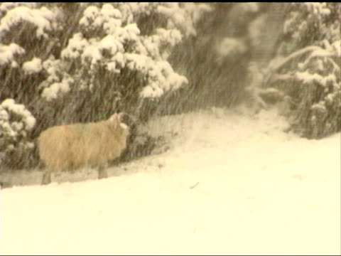 storms kill 11 people and cause countrywide destruction scotland perthshire ext sheep in the snow car towards with headlights on in snowy conditions - perthshire stock videos & royalty-free footage