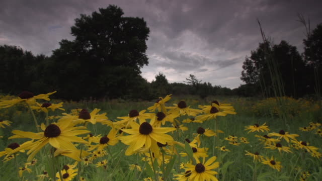 stormy prairie landscape with closeup of yellow flowers, wide panning shot - monoculture stock videos & royalty-free footage