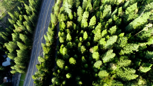 Straight down drone view above Highway and tall pine trees in Thick Healthy forest Northern California Sierra Nevada Mountains thick Forest aerial drone view