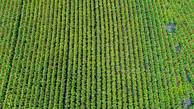 Straight Down view of Perfect Lines Rows of Plants in field GMO Crops growing in Central Texas aerial drone view