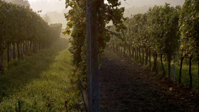 straight row of vineyards disappearing in the fog in autumn at sunrise - piemonte video stock e b–roll