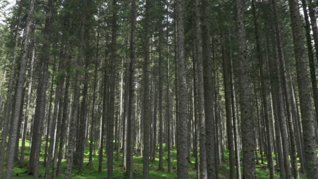 AERIAL Straight spruce trees growing from green forest floor