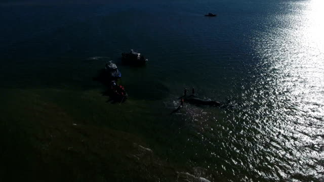 stranded humpback whale in new york is euthanized - stranded stock videos and b-roll footage