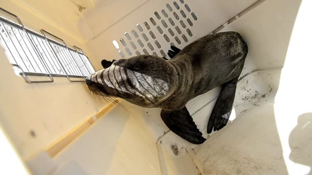stranded seal lions rescued in southern california on april 05, 2013 in los angeles, california stranded seal lions rescued in southern california on... - aquatic organism stock videos & royalty-free footage