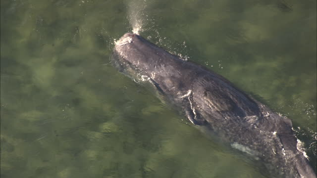 vídeos y material grabado en eventos de stock de stranded sperm whale (physeter macrocephalus) exhales, tasmania - ballena cachalote