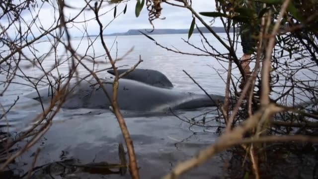 stranded whale struggles in shallow waters, it is among the hundreds of animals still stranded on australia's southern coast - whale stock videos & royalty-free footage