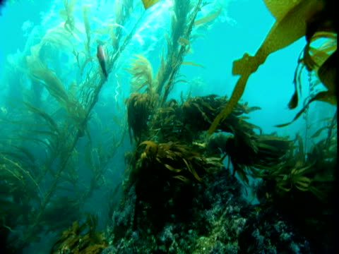 strands of seaweed move with the ocean current. - kelp stock-videos und b-roll-filmmaterial
