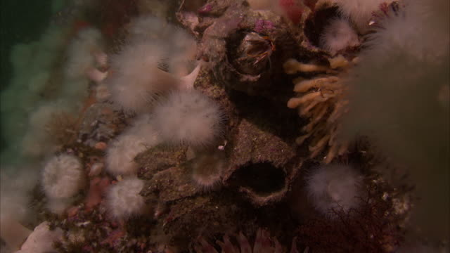strange corals and sea creatures are on the pacific reef. - lymphknoten stock-videos und b-roll-filmmaterial