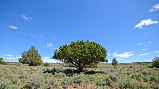 Strange umbrella shaped juniper interesting tree under blue sky and puffy clouds in the desert with sagebrush South Steens Mountain near Malheur National Wildlife Refuge