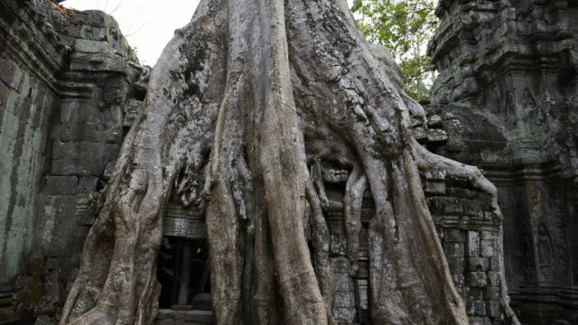 MS Strangler fig tree roots at Ta Prohm temple / Angkor Wat, Siem Reap, Cambodia