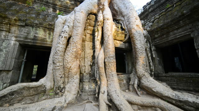 ms strangler fig tree roots at ta prohm temple / angkor wat, siem reap, cambodia - root stock videos & royalty-free footage