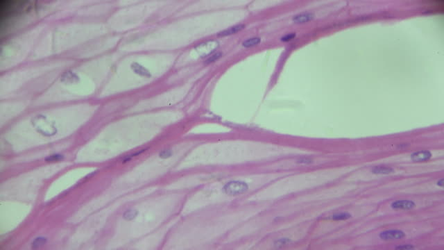 Stratified squamous epithelium view in microscopy