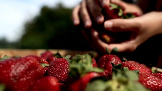 Strawberrie harvest