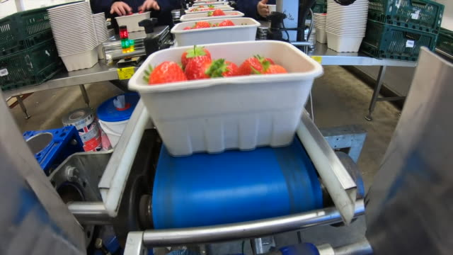 strawberries being packed on a production line - fruit bowl stock videos & royalty-free footage