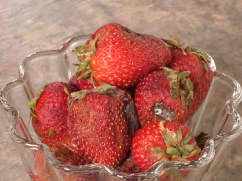 CU T/L strawberries decaying, zoom in