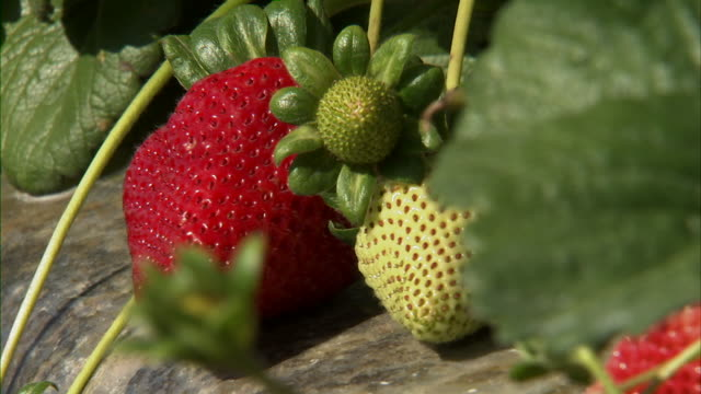 strawberries, fruit, farms, harvesting. - kalifornien stock-videos und b-roll-filmmaterial