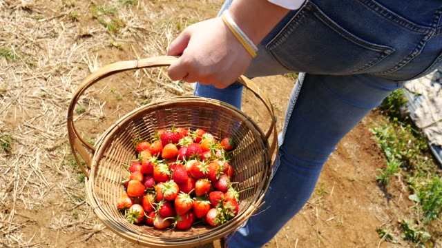 vídeos y material grabado en eventos de stock de fresas en una granja cosecha, 4 k (uhd - fresa