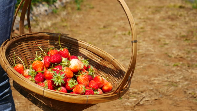 strawberries harvest in a farm , 4k(uhd) - picking stock videos & royalty-free footage