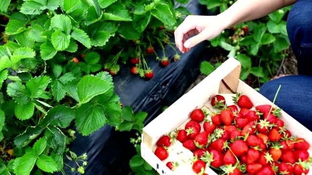 vidéos et rushes de fraises harvest. - cueillir