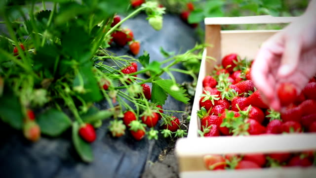 strawberries harvest. - picking harvesting stock videos & royalty-free footage