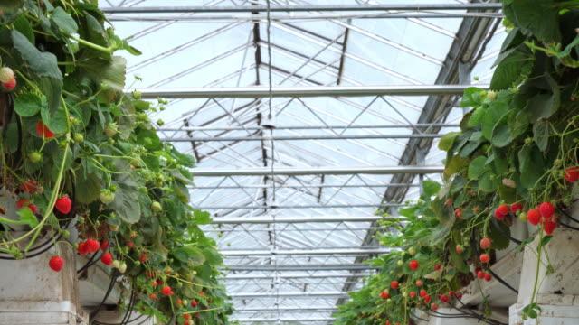 有機温室のイチゴ。 - グリーンハウス点の映像素材/bロール