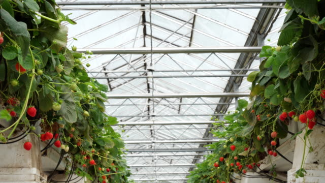 strawberries in an organic greenhouse. - ripe stock videos & royalty-free footage