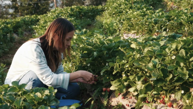 strawberries in the farm - mae hong son province stock videos and b-roll footage