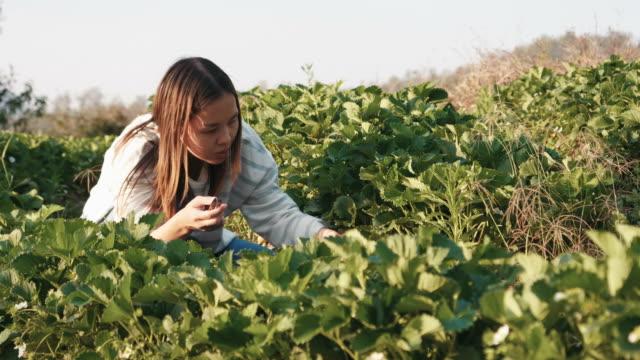 vidéos et rushes de fraises à la ferme - récolter
