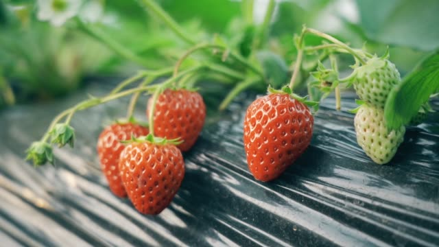 strawberries in the greenhouse - orchard stock videos & royalty-free footage