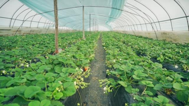 erdbeeren im gewächshaus - gewächshäuser stock-videos und b-roll-filmmaterial