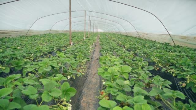 vidéos et rushes de fraises dans la serre - jardin potager