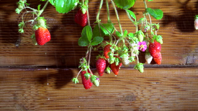erdbeeren pflanzen im garten mit regen - grundriss stock-videos und b-roll-filmmaterial
