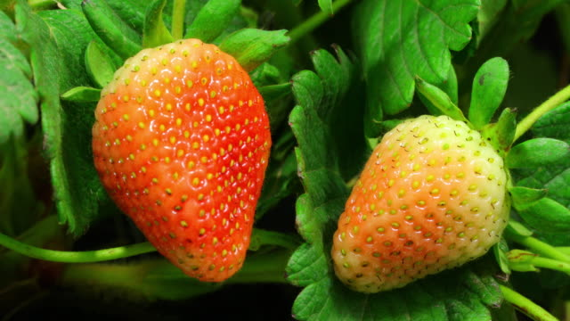 Strawberries ripen on time lapse video 4K